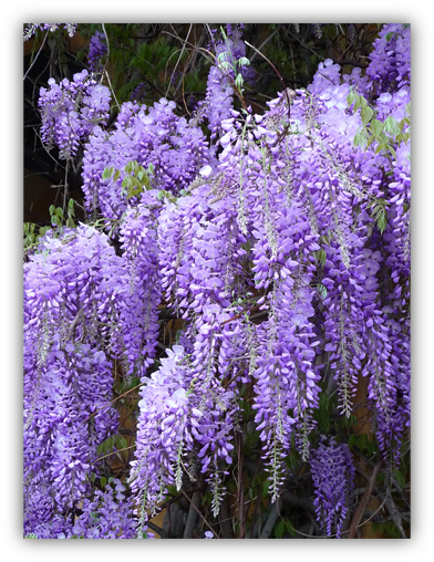 Lessons From A Wisteria Vine Susan Miller Blog