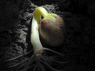 emerging seedling